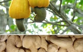 Как растет кешью, особенности плодоношения, видео