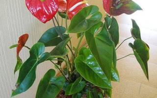Растение антуриум засохло, как омолодить старое растение, как реанимировать, видео