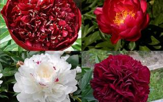 Ранние пионы — подборка лучших сортов для раннего цветения в саду, видео