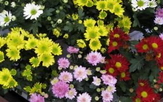 Как вырастить рассаду хризантем — видео