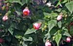 Абутилон комнатный клен — родина растения, энергетика, видео