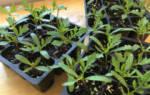 Когда сажать бархатцы на рассаду — выращивание, уход, видео