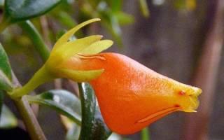 Нематантус — обрезка, размножение семенами и черенками, болезни и вредители растения, видео