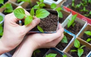 Базилик — успешное выращивание рассады для посадки в открытый грунт, видео