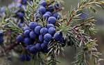 Плоды можжевельника — полезные свойства, правила приема, сроки заготовок, видео