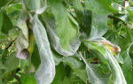 У яблони скручиваются листья, что делать, средства борьбы, видео