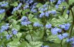 Посадка и уход за брунерой в саду, зимостойкость растения, видео