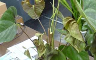 Антуриум — желтеет, сохнет, вредители, клещи, фото, видео