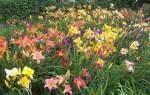 Лилейники в саду — сроки и правила посадки, уход, рекомендации, видео