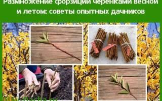 размножение форзиции черенками весной, сроки, видео