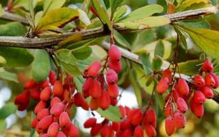 Как выращивать и когда пересаживать барбарис обыкновенный, видео