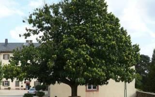 Конский каштан — как посадить, как вырастить из ореха, когда цветет, описание, фото, видео