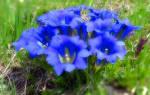 Выращивание горечавки из семян в саду, рассадой, видео