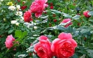 Английские розы — посадка, выращивание, уход, видео