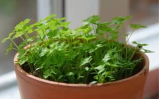 Как сажать и выращивать петрушку на подоконнике + видео
