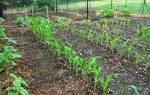 Когда сажать кукурузу в открытый грунт, на рассаду, в Украине, регионах России, видео