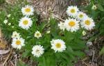 Ромашка садовая многолетняя — посадка и уход, размножение, видео
