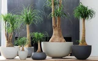 Бутылочное дерево — уход в домашних условиях, подкормка, видео
