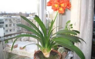 Особенности выращивания кливии в домашних условиях, требования к уходу, видео