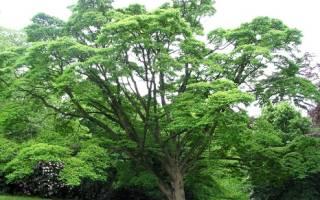 Железное дерево — виды, фото и описание, особенности древесины, видео