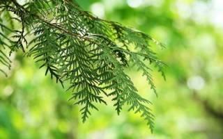 Виды кипариса для выращивания на даче в саду и доме, видео