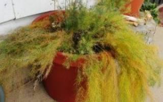 Аспарагус — уход когда растение желтеет, осыпается, болезни и вредители, видео