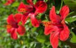Удобрения для комнатного гибискуса во время цветения, видео