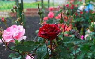 На листьях розы черные пятна — что делать, лечение, видео