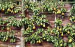 Выращивание фруктовых деревьев на шпалерах, советы, рекомендации, видео
