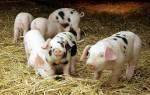 Свиной навоз как удобрение — использование, утилизация, видео
