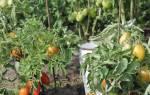 Сорта помидоров для ленинградской области — видео