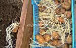 Как вырастить рассаду картошки из ростков, видео