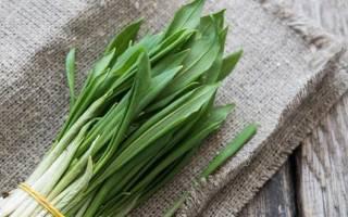 Как вырастить черемшу на дачном участке семенами и луковицами в открытом грунте, теплице и на подоконнике, видео