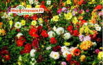 Однолетние цветы георгины — сроки посадки, уход, полив для длительного цветения, видео