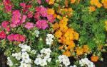 Уход за лапчаткой кустарниковой — чем подкормить, как размножить, видео