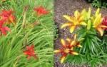 Как отличить лилейник от лилии, особенности растений, видео