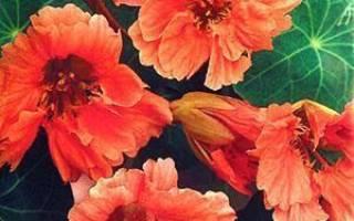 Все о садовом цветке настурции в ландшафтном дизайне + видео