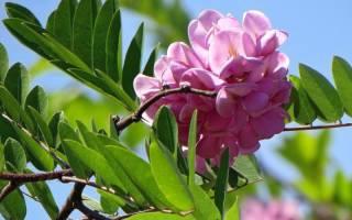 Розовая акация — особенности выращивания в средней полосе России, видео