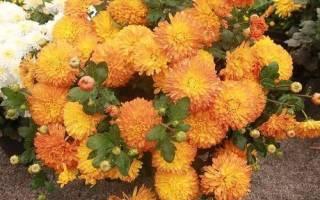 Выращивание желтых хризантем, особенности ухода и зимнего хранения, видео