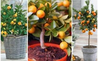Как ухаживать за мандарином, особенности плодоношения, видео