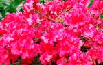 Азалия садовая — выбор места посадки, подготовка почвы, видео
