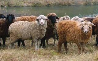 Разведение овец и выращивание в домашних условиях для начинающих, бизнес план, видео
