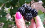 Полезные свойства черной малины, вред для организма, видео