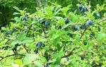Источник витаминов и полезных элементов — жимолость съедобная, видео