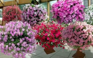 Цветы петунии посадка в грунт — уход, видео