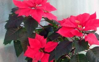 Цветение пуансеттии — что нужно сделать чтобы добиться цветения, видео