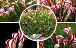 Кислица пестроцветная, описание вида, выращивание