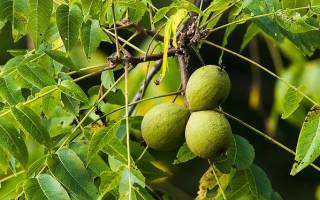 Орех черный — посадка и уход, где растет, плоды, видео