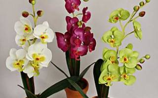 Черная орхидея цветок, особенности ухода, болезни и вредители