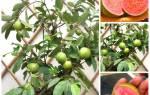 Как выращивать гуаву в домашних условиях, описание растения